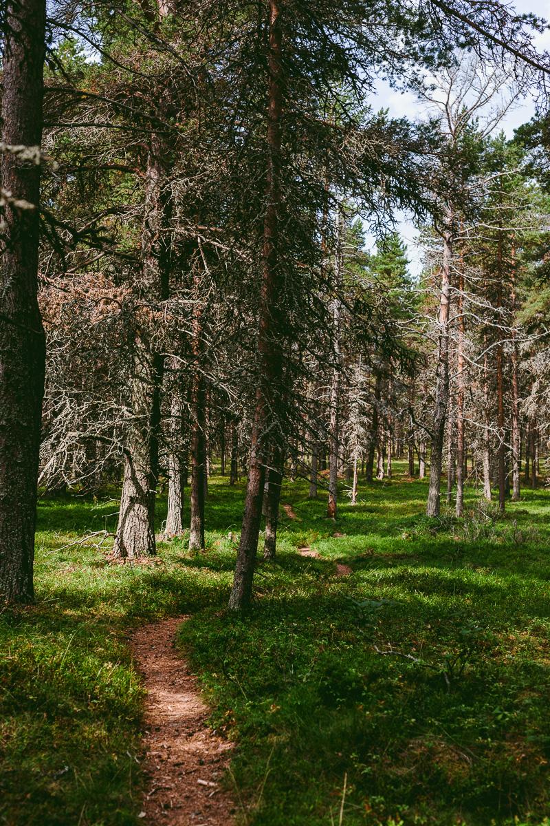 Haparanda skärgård tallskog