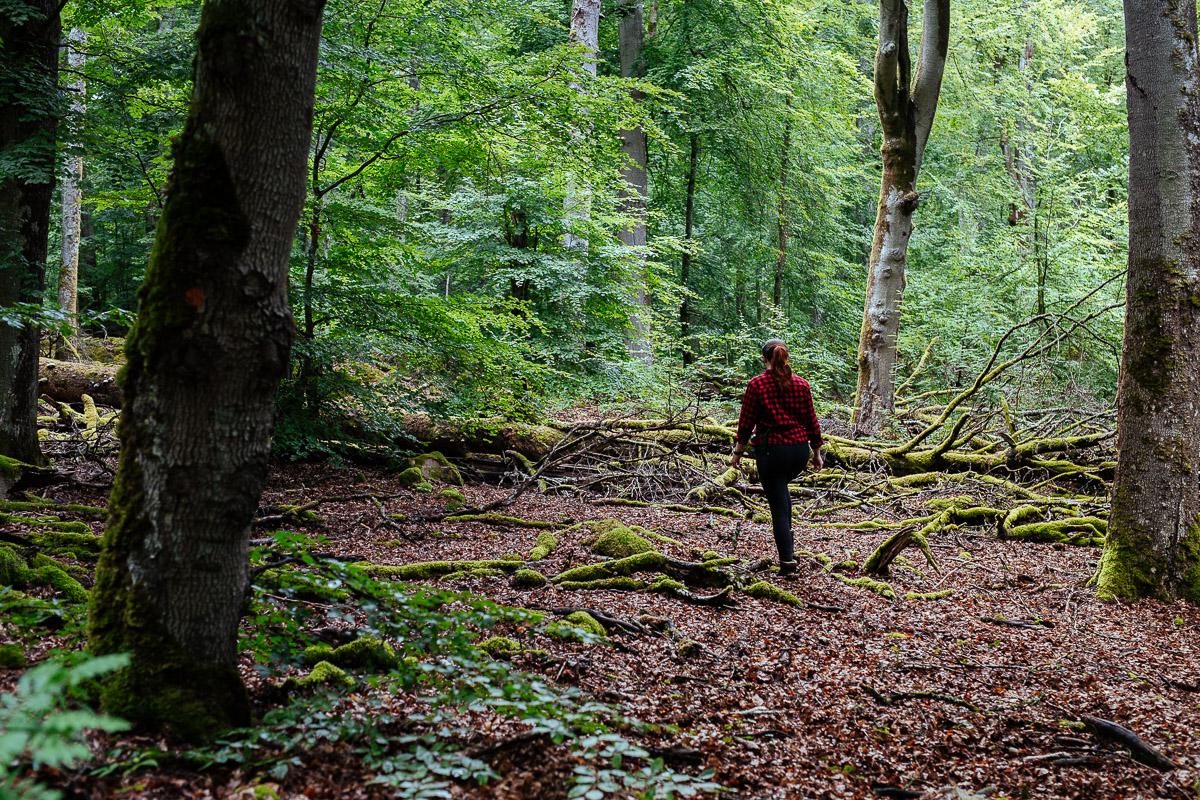Vandra i bokskogen i Åsnen nationalpark