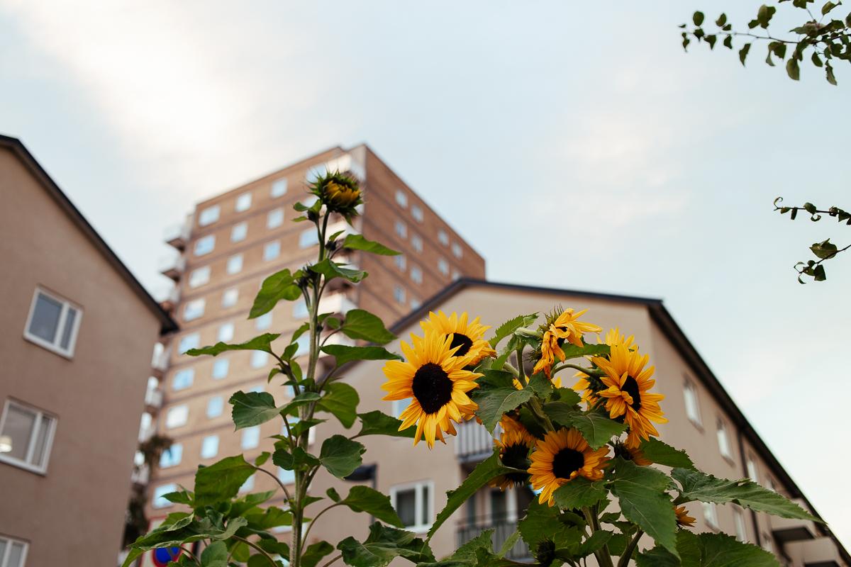 solrosor högdalen stockholm