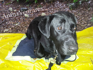 ADNZ Ben looking very wet, he is lying on a yellow plastic ground sheet and small fleece blanket.