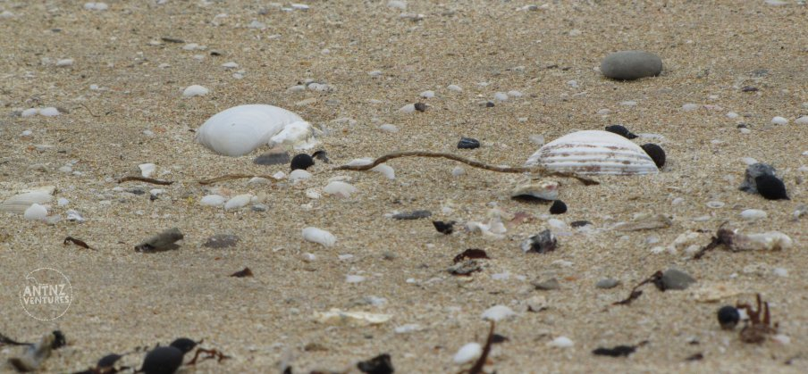Close up of shells ad sea weed on light colored sand of Anaura Bay.