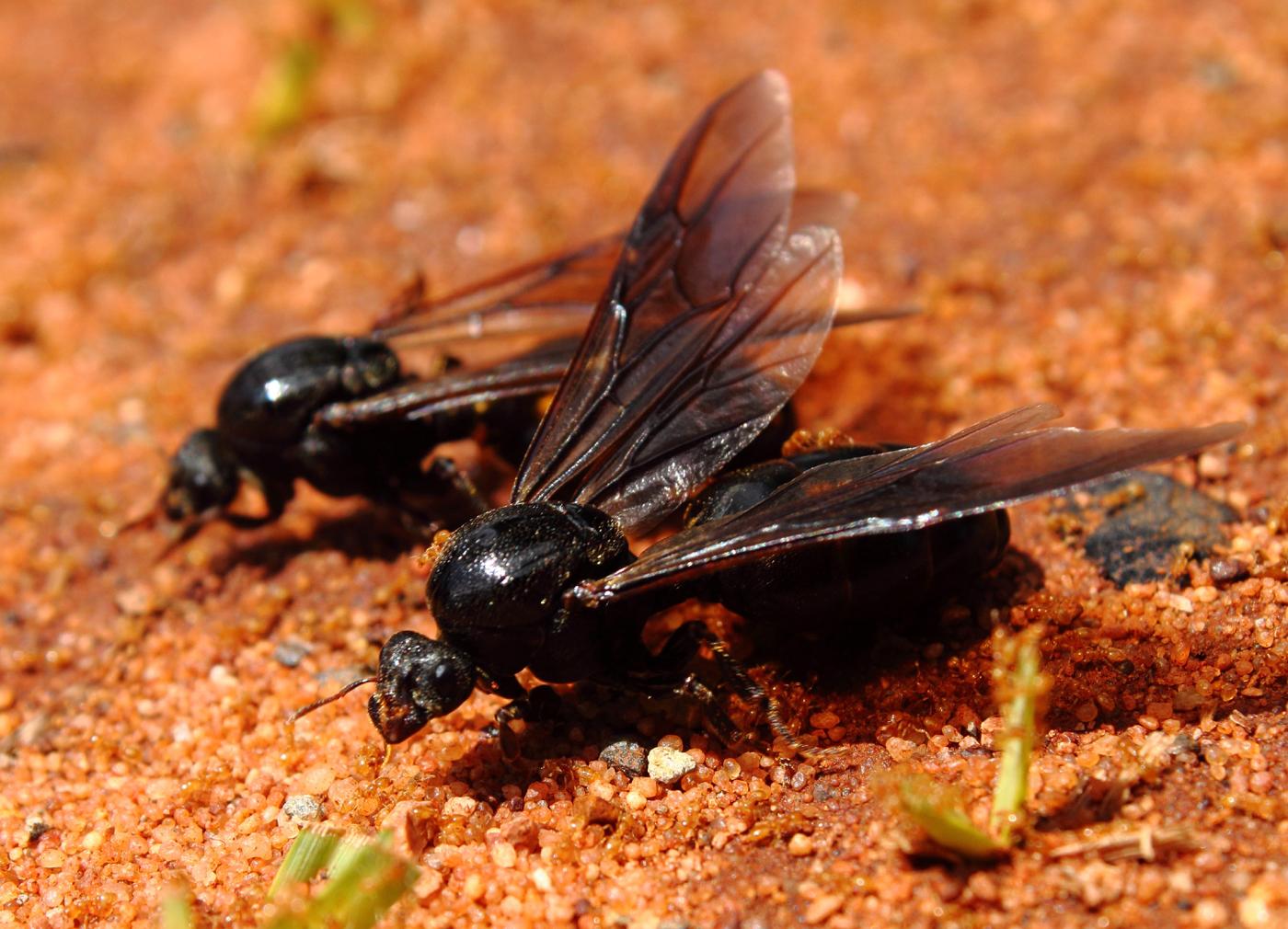 queen ants for sale