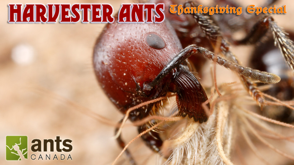 NEW VIDEO Harvester Ants Amp The AC Christmas SalePromo