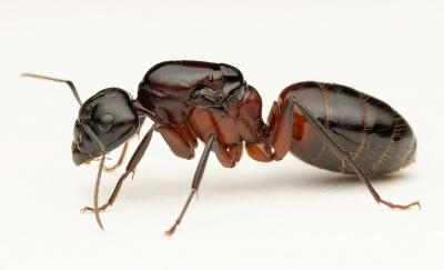 Camponotus ligniperda - AntWiki