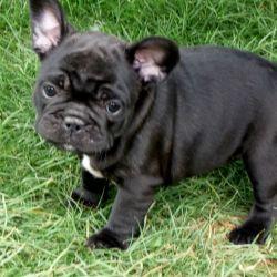 french-bulldog-puppies-5b54d58d61349