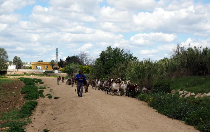 Kozji pastir pred Guilleno. Objavo si je zaslužil, ker ima v rokah Apple iPhone.