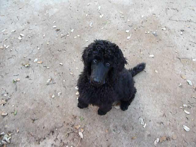 Friend Seeking Foster Guardian Home For Male Std Poodle In
