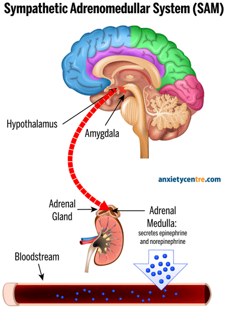 Nervous System Response Diagram : 2. sympathetic nervous system / They receive data and feedback from the sensory organs and from. - Produk ...