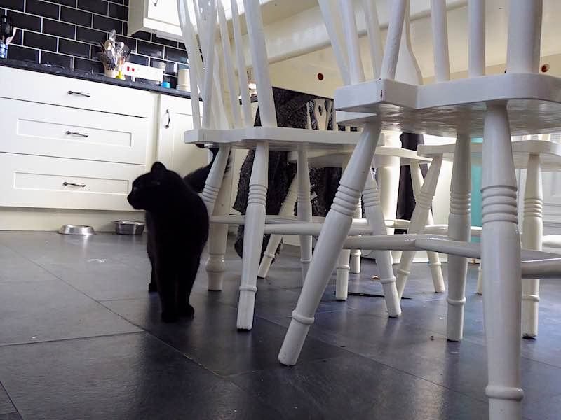 cat in kitchen with chairs
