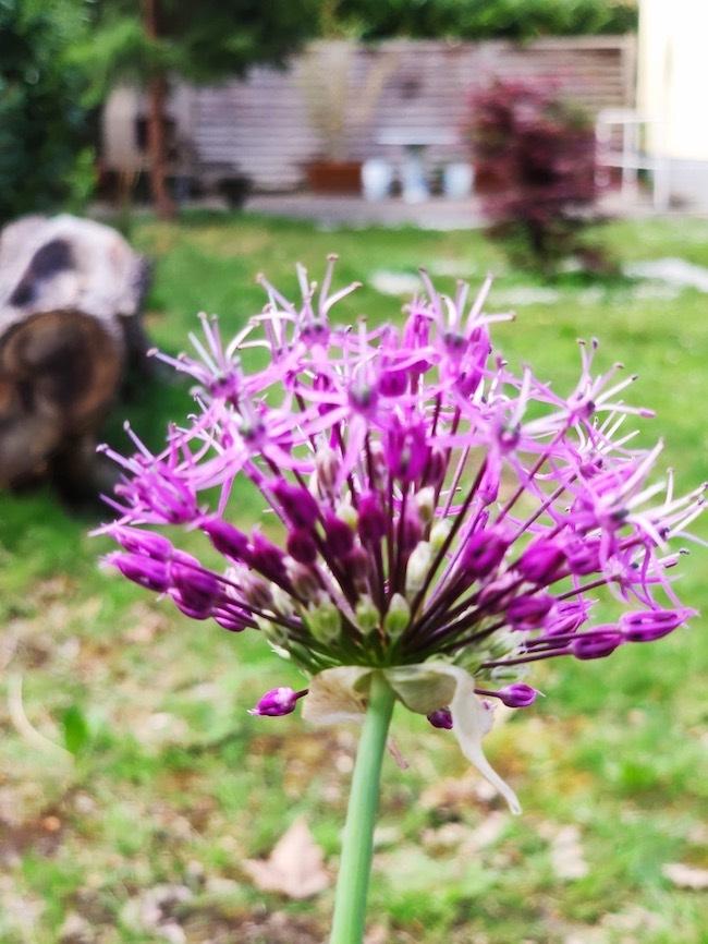 purple flower, Switzerland