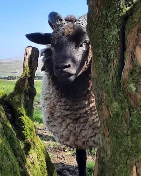 Ewe between trees