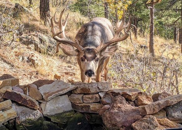large deer with antlers