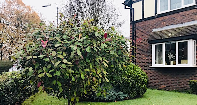 large shrub in garden and exterior of house
