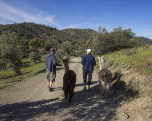 Walking the Alpacas