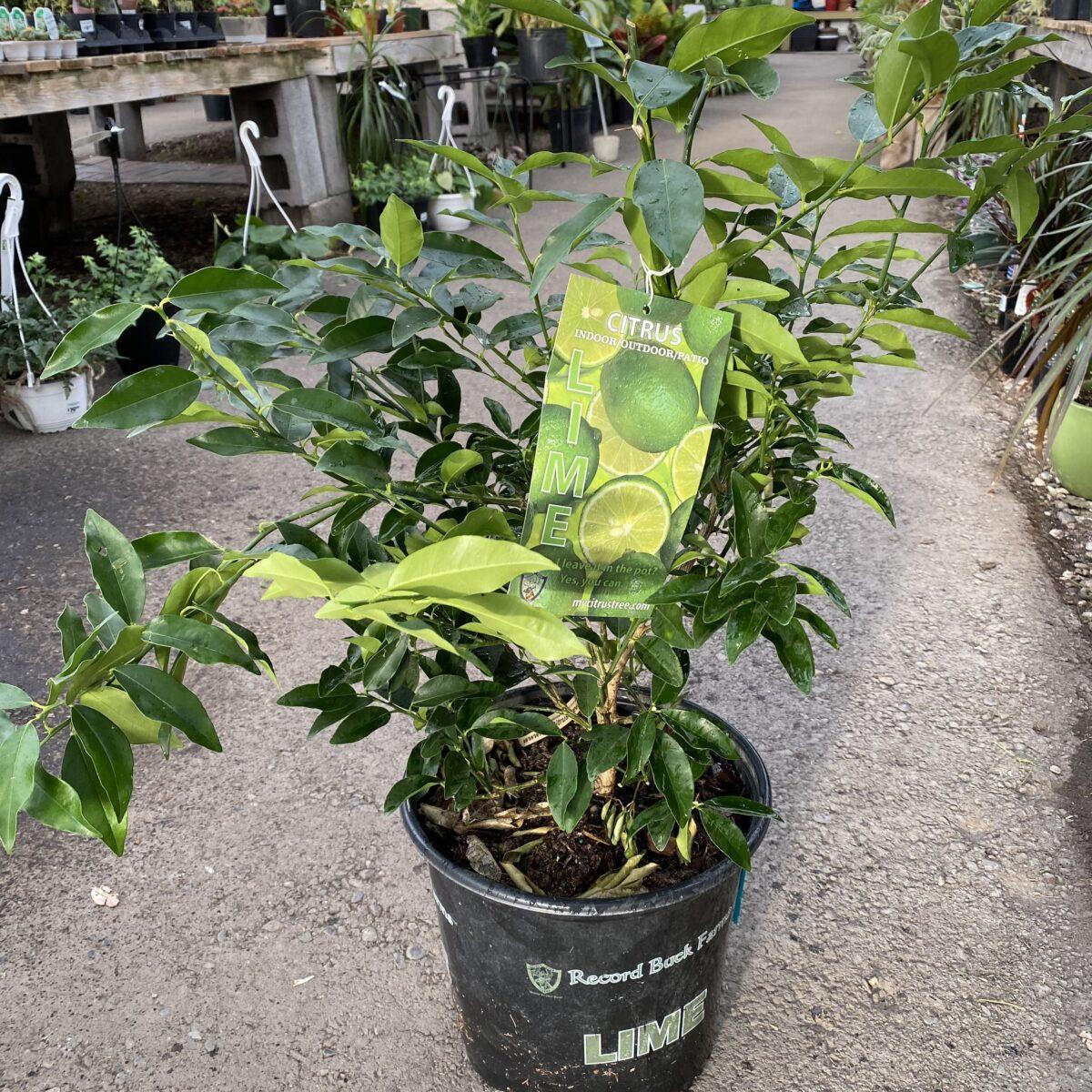 lime tree 3 gallon citrus tropicals houseplants