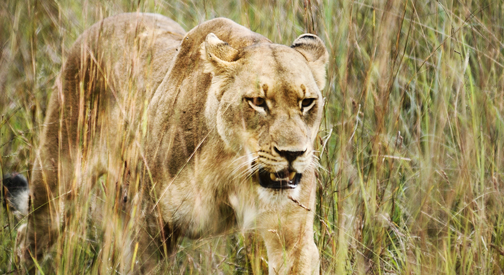 Kommentar: lejonattacken i Sydafrika
