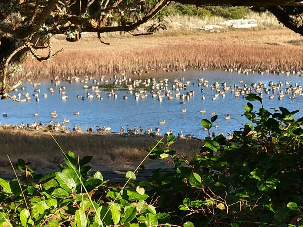 Ducks on the Salishan Lagoon