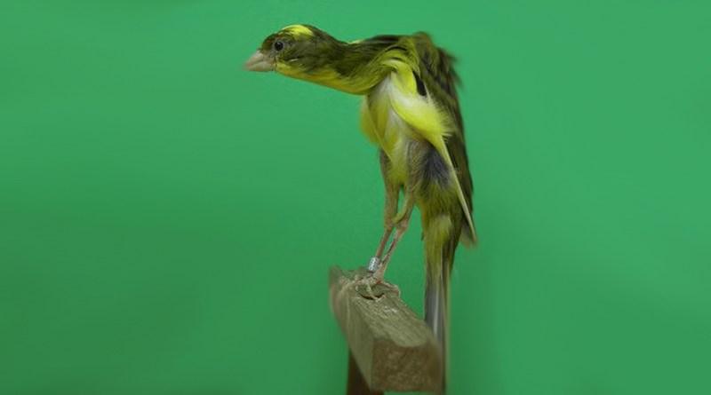 Canarino arricciato gibber italicus