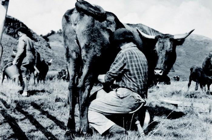 Traite de vache salers Cantal