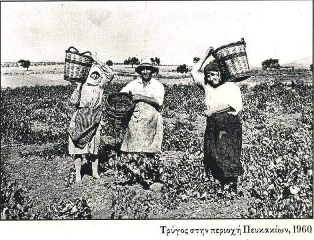 1960 τρύγος Πευκάκια