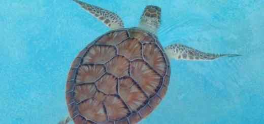 Tartaruga nel mare di Cayo Largo