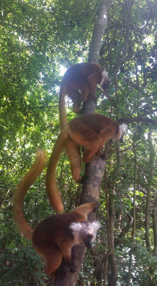 animali, lemuri, madagascar
