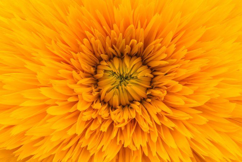 One Color Photo Challenge - Orange Flower