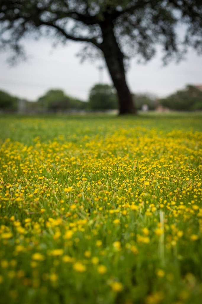 Field of Small Yellow Flowers