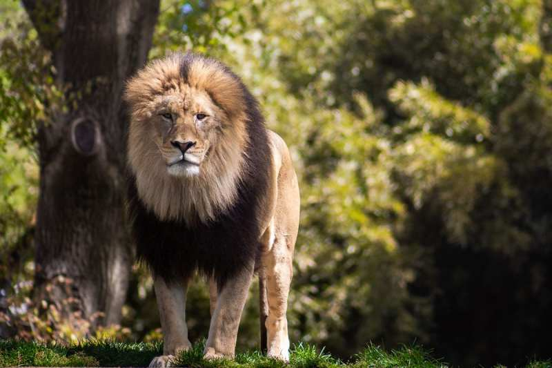 Male lion stares directly at the camera - image applies the rule of thirds