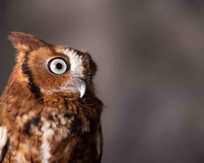 Wildlife photograph of a Screech Owl