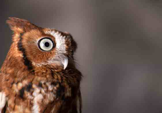Wildlife photograph of a Screech Owl