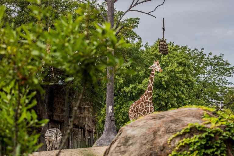 Giraffe eating hay at a 75 mm focal length
