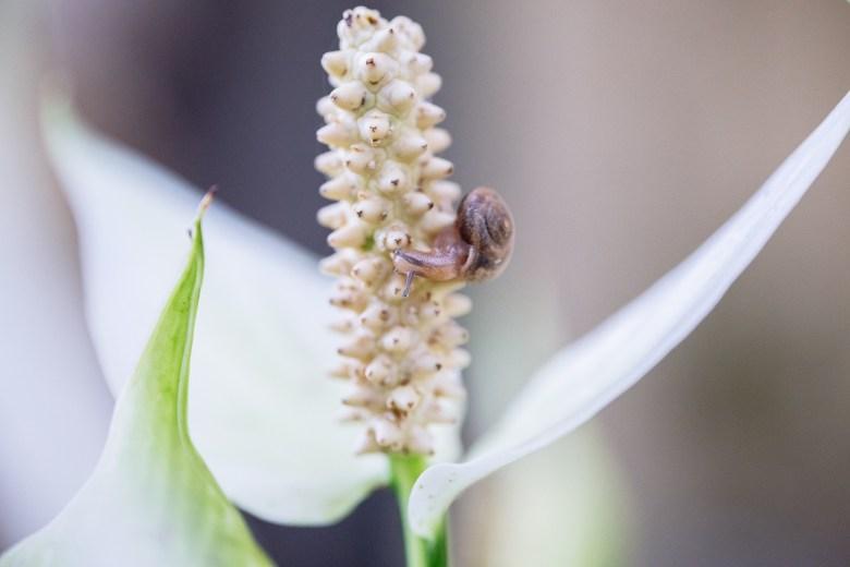 Snail on a Peace Lily