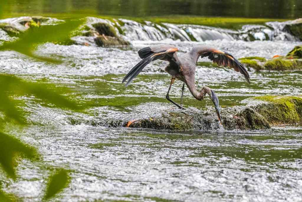 Heron spreads it's wings and dips it's head below water as it catches a fish