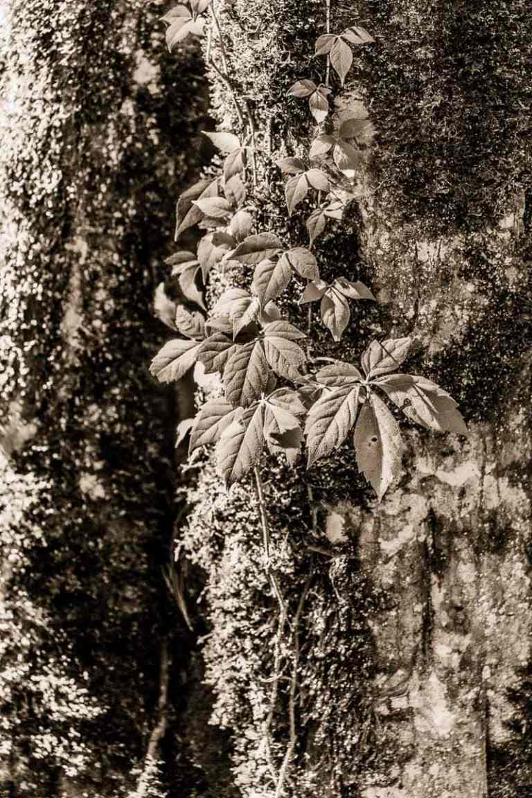 Leaves and moss grow on an old tree in high contrast black and white during midday full sun.