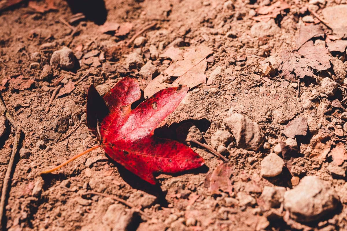 Red Maple Leaf Fallen On Gravel