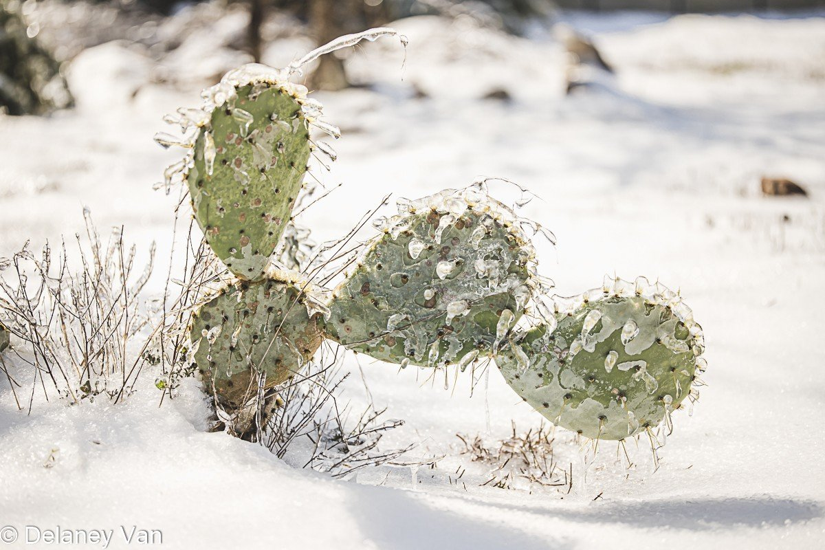 Prickly Pear Cactus Covered In Ice After Winter Storm Uri