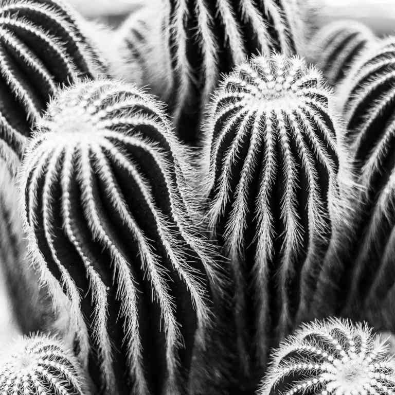 San Pedro Cactus Black and White