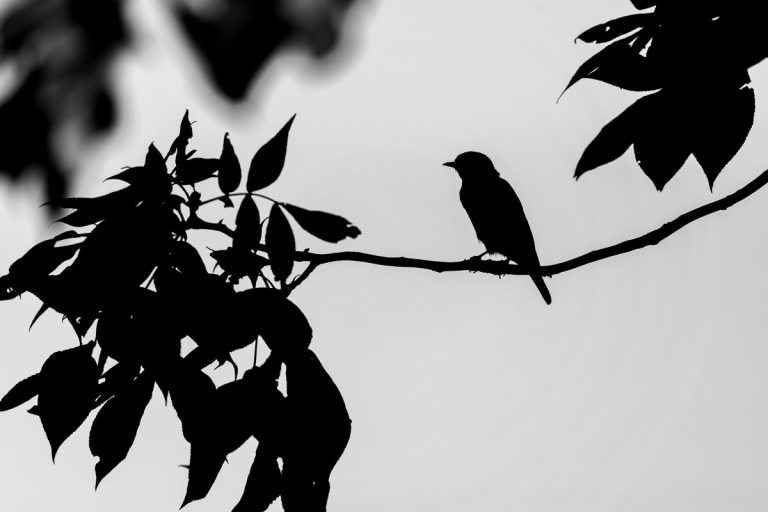 Songbird sitting on tree branch black and white Silhouette