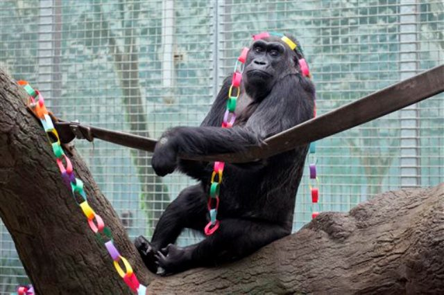Colo , The First Gorilla Born In A Zoo Turns 58 Today, Celebrations To Be Broadcast Live