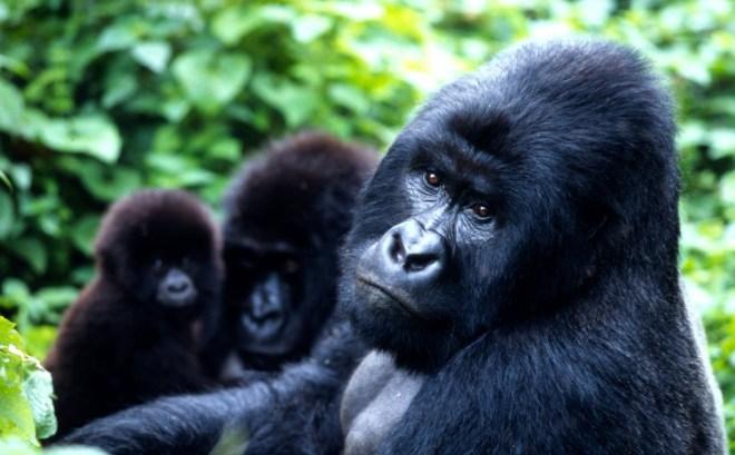 Gorilla gorilla beringei  Mountain gorilla