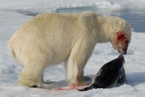 Polar_Bear_With_Seal_600