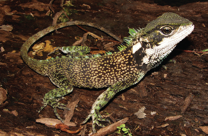 new species of dwarf dragon lizards