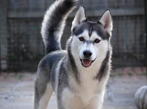 dog ancestor