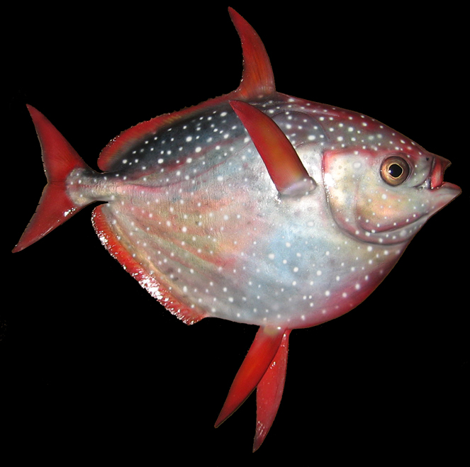 opah fish warm blooded