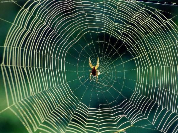 spider silk is the strongest fiber