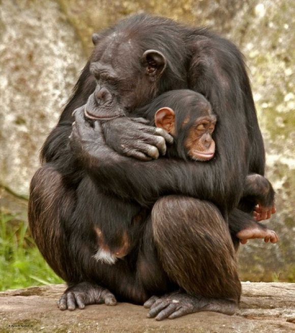 Species Act Protection Now Broadens to Include All Chimpanzees