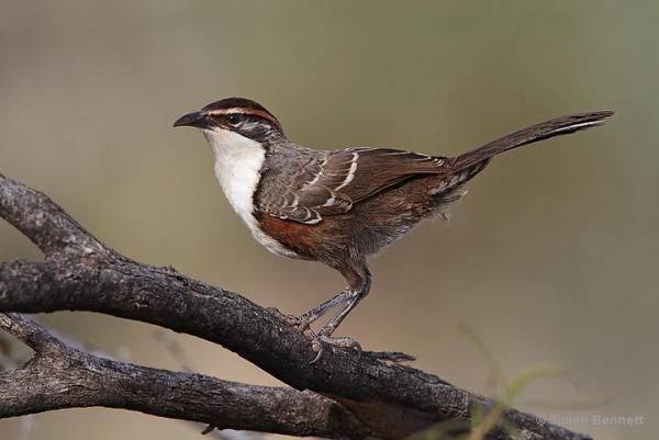 Babbler Bird Speech