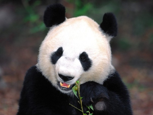 Bamboo Diet In Giant Pandas