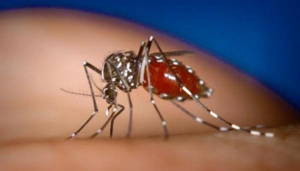 """""""Aedes mosquito"""""""